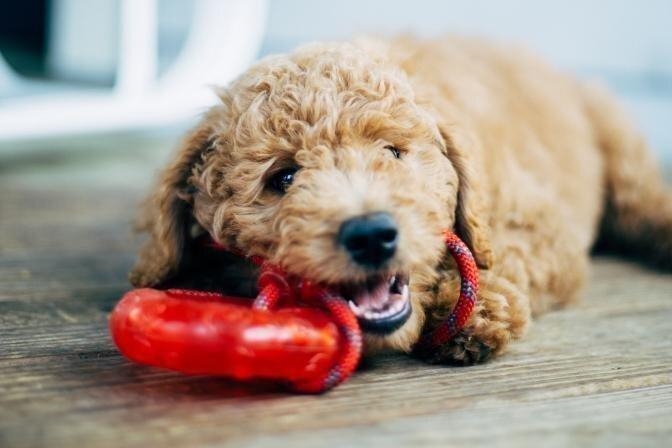 Kamēr saimnieks darbā, suns sagrauzis čības. Kā iekštelpās nodarbināt mīluli?