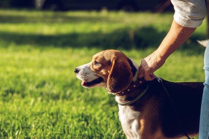 Kā iemācīt suni nevilkt pavadu? Kinologa padomi mājdzīvnieku saimniekiem