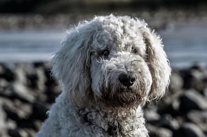 Suns un dubļainas pastaigas. Kā iztīrīt ķepaiņa kažoku mājas apstākļos