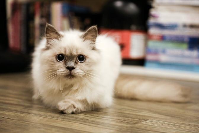 Kā kopt garspalvaina kaķa kažoku?