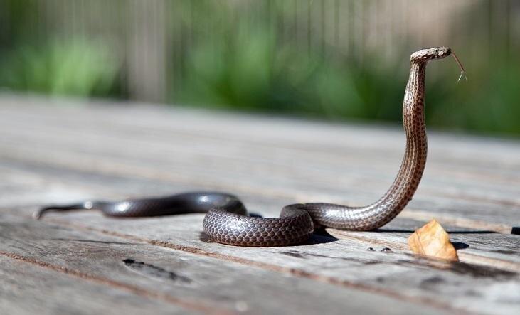 Kā atpazīt gadījumus, kad suni sakodusi čūska, un kā tādās situācijās rīkoties?