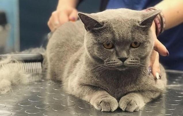 Dzīvnieku friziera apmeklējums ar kaķi - lietderīga procedūra vai