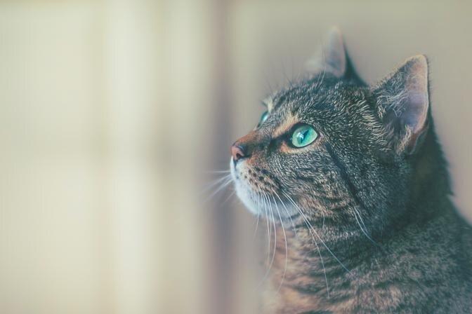 Kā pielāgot barību atbilstoši kaķa vajadzībām un dzīvesveidam?