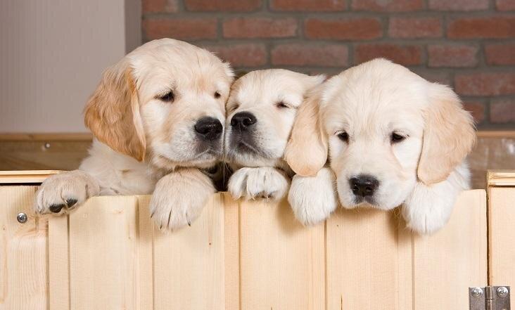 Kam pievērst uzmanību, izvēloties suņa šķirni?