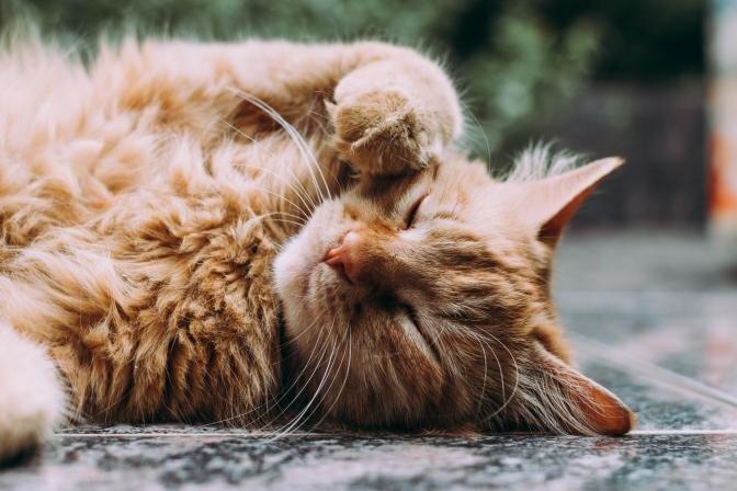TESTS: Vai Tavam kaķim ir liekais svars?