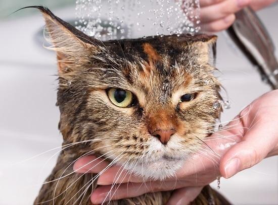 Kā pareizi vannot kaķi?