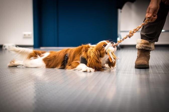 Pašizolācija nav šķērslis! Kā skolot suni mājas apstākļos?