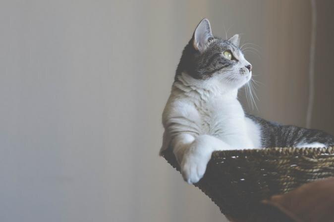 Kas jāņem vērā kaķu īpašniekiem pēc mājdzīvnieka sterilizācijas?